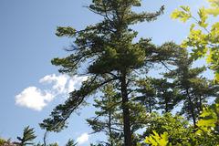 Pine on Pine Island