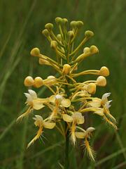 Platanthera Xlueri (Platanthera consipicua x Platanthera ciliaris) hybrid orchid