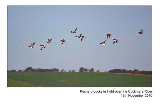 Pochard ducks & drakes in flight - Cuckmere River - 19.11.2010