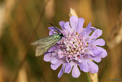 Forester on Scabious