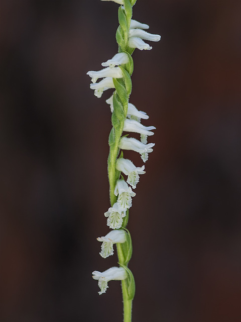 Spiranthes praecox (Grass-leaved Ladies'-tresses orchid, Greenvein Ladies'-tresses orchid)