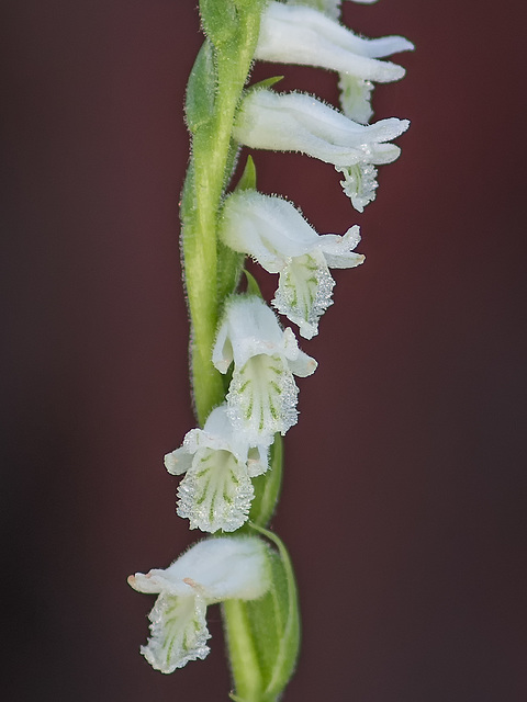 Spiranthes praecox (Grass-leaved Ladies'-tresses orchid, Greenvein Ladies'-tresses orchid)