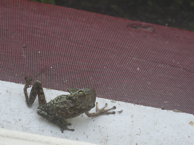 our morning frog