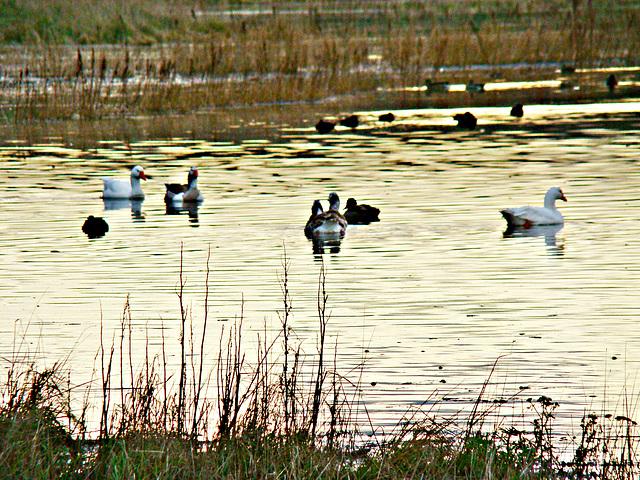 Waterfowl, wetlands, south Timaru