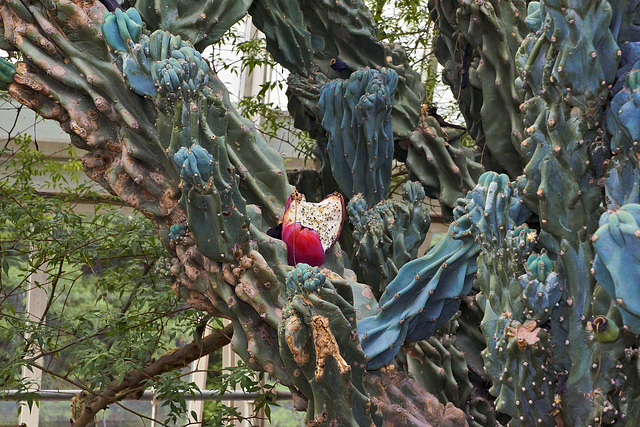 """Giant Club"" Cactus – New York Botanical Garden, New York, New York"
