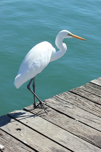 Eastern Great Egret (Ardea alba modesta) White Heron