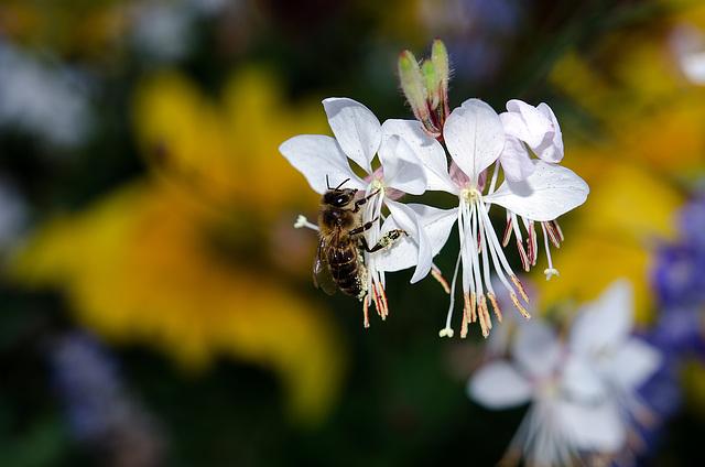 BESANCON: Une abeille (apis).