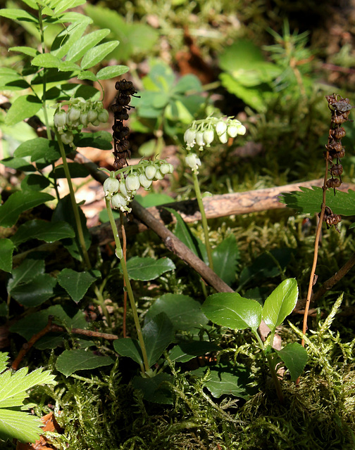 Pyrola secunda - Orthilia secunda - Pyrole unilatérale