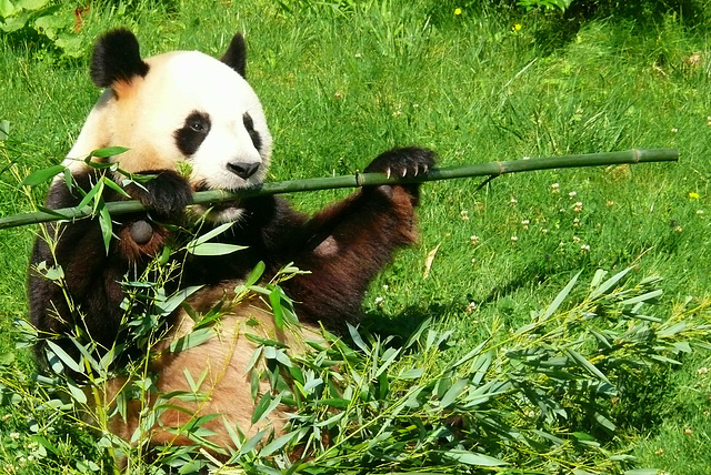 L'un des 2 pandas du zoo de Beauval