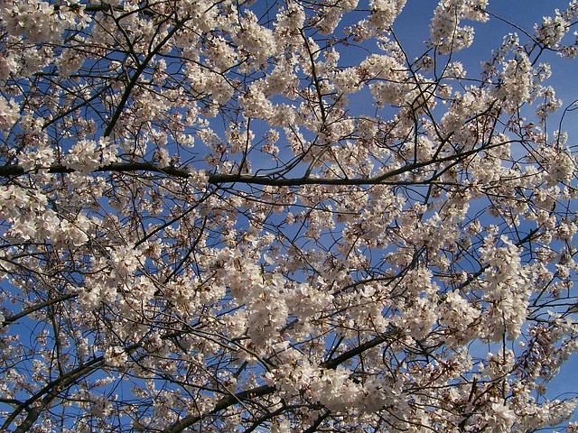Obligatory cherry blossom shot