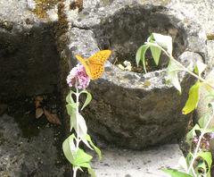 le 1er papillon de mon nouveau jardin....