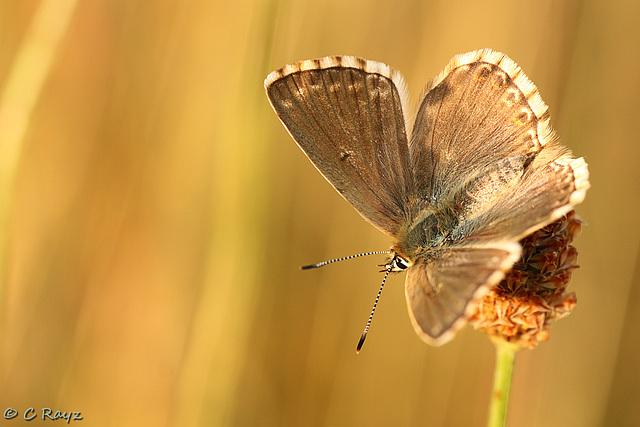 Chalkhill Blue Female