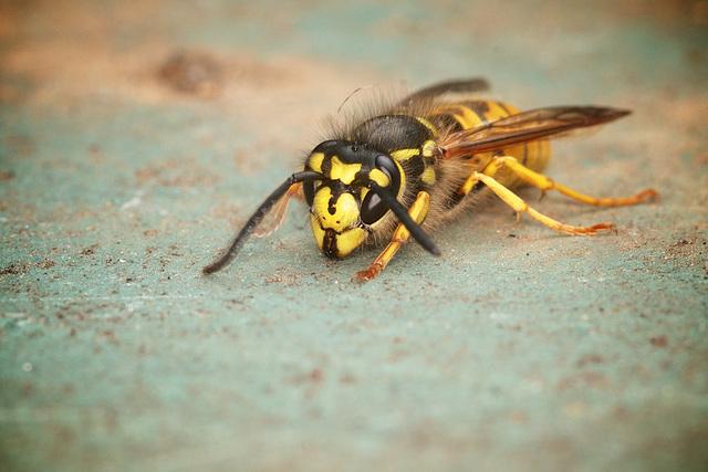 Wasp - Version 1