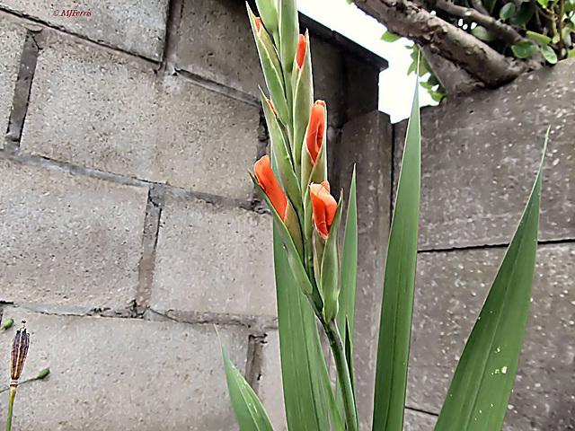 70 Gladioli