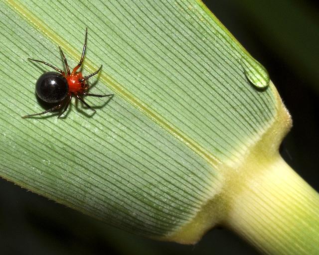 dwarf-spider-set41-DSC 2433A