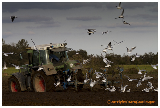 ploughing with gulls