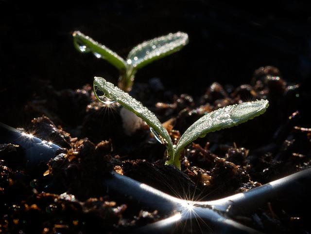 Sparkling Seedlings