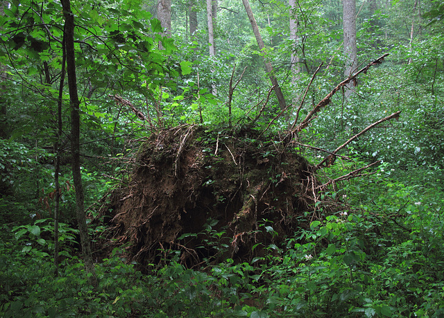 I scour the internet for pics of fallen trees that look like the undersides of giant ticks and I am never satisfied w/ the search results so here's a contribution: Hi there you big sweetheart!