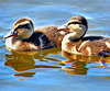 Ducklings (Mallard).