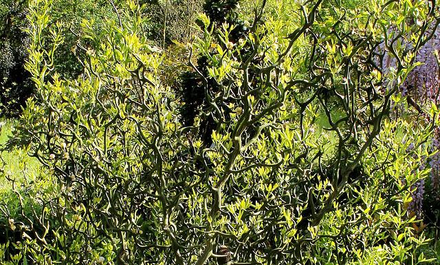 Poncirus trifoliata contorta 'Flying Dragon'