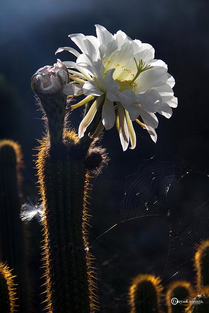 flor del captus