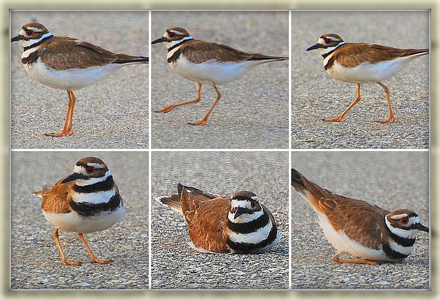 Killdeer in action