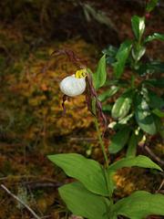Cypripedium montanum (Mountain Lady's-slipper orchid)