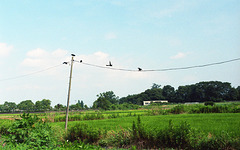 Five ravens on a line