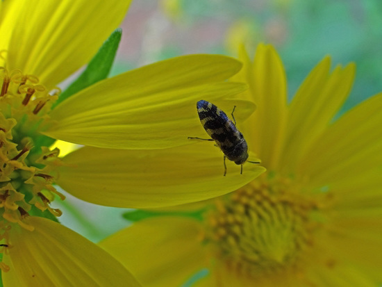 Little yellow and black beetle on Sunflower