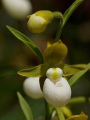 Cypripedium californicum (California Lady's-slipper orchid)