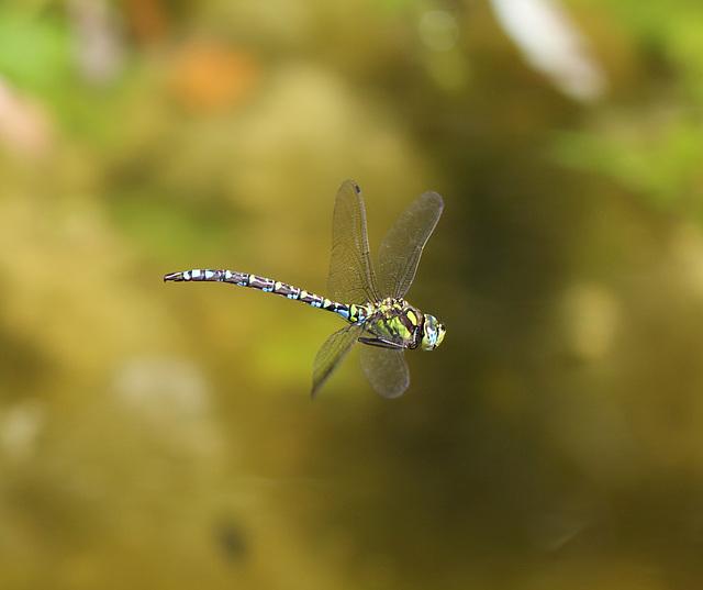 Aeschne bleue en vol