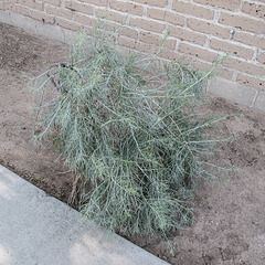 Downwardly we see: Albuquerquetian landscaping wad @ sidewalkside.  Shake it!