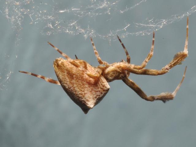 uloborus female 2012-CSC 2795