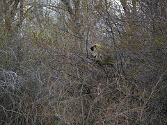 E. Idahoan porcupine out in the wild, up a tree sleeping and waiting for the nighttime.