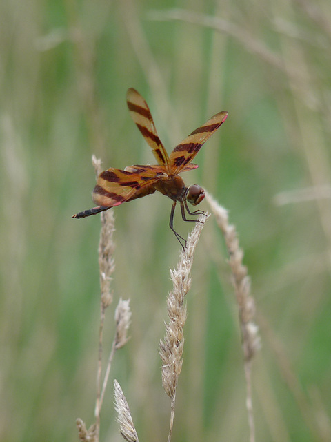 striped dragonfly