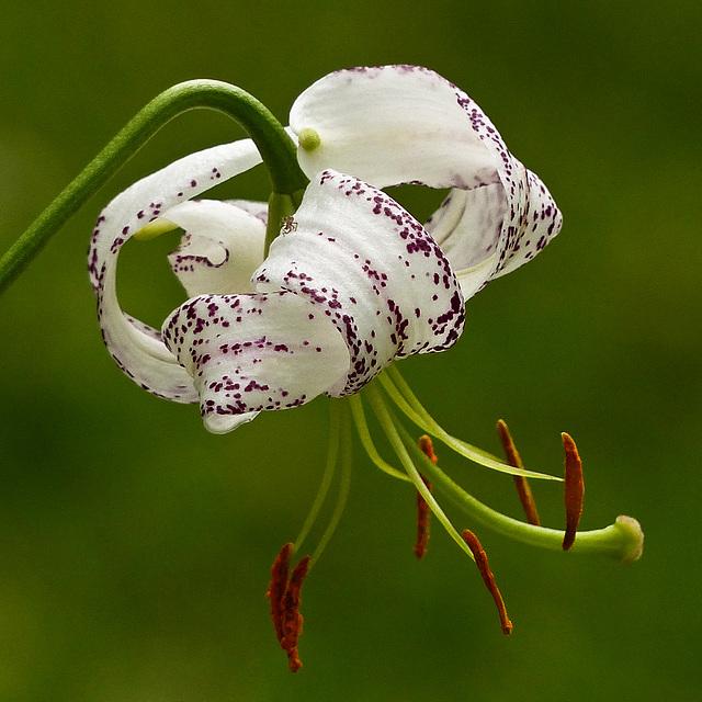 Love of Lilies