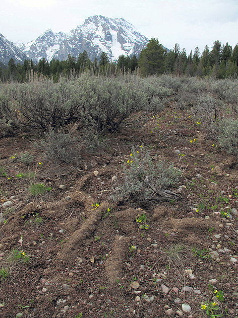 "Small ridges of dirt shapes, and yellow flowers, and ""glacial till,"" and sagebrush, of Tetons.  Plus conifers."