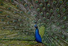 Un paon Bleu.