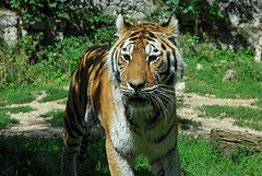BESANCON: Un tigre de sibérie de la citadelle.