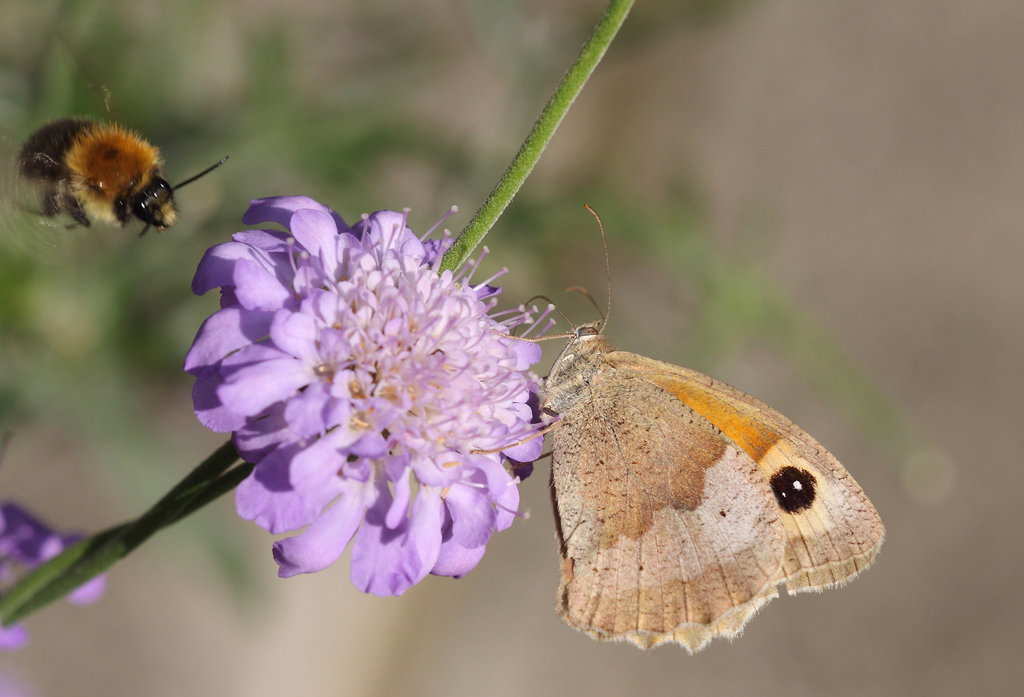 Meadow Brown (Maniola jurtina) butterfly and Bumble Bee