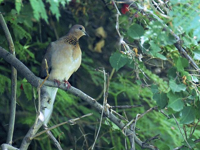 Pigeon in my backyard