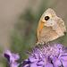 Meadow Brown (Maniola jurtina) butterfly