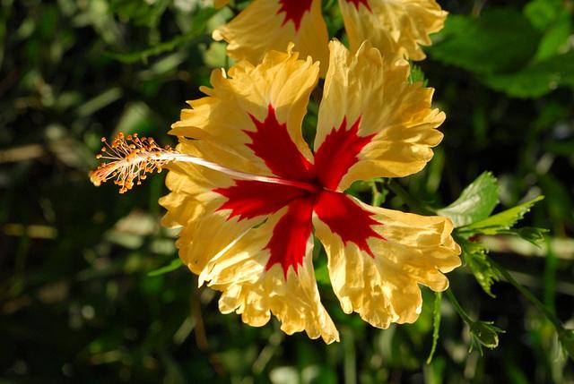 NICE: Parc Phoenix: Une fleur d'Ibiscus.