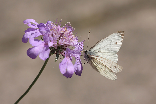 Green Veined White (Pieris napi) butterfly