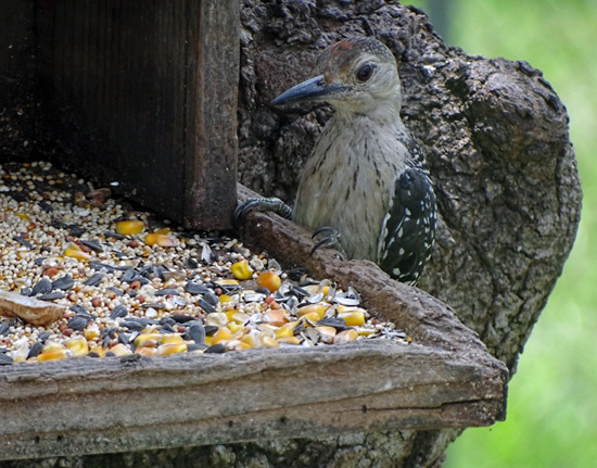 The Red Bellied Woodpeckers had a male & a female chick this year This is the female