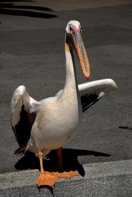 NICE: Parc Phoenix: Un pélican.