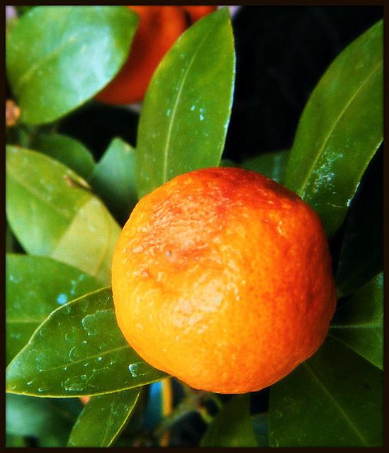 rêve orange du jardin 100 %% BIO