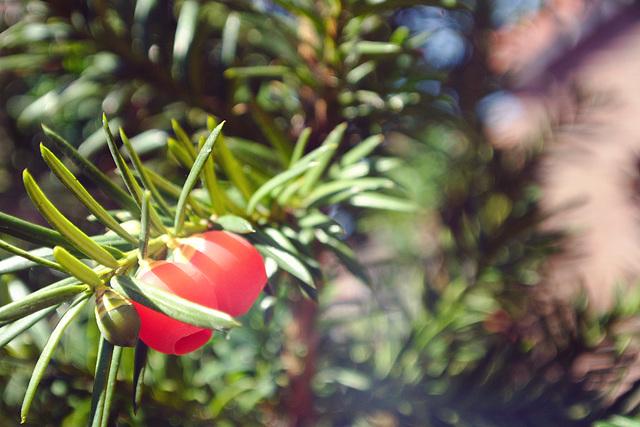 Taxus berries