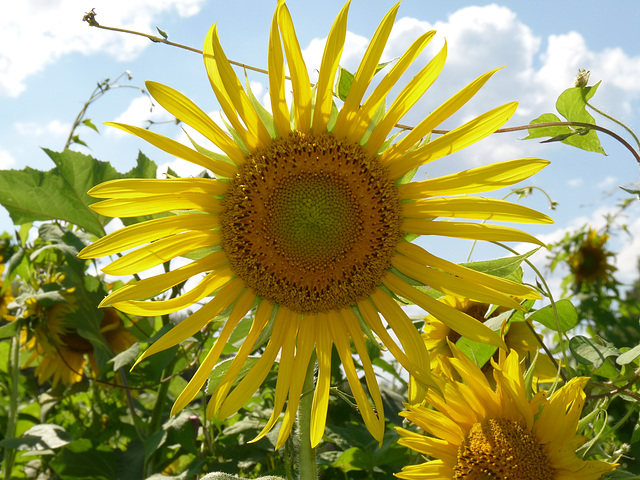 sunflower at McKee-Beshers