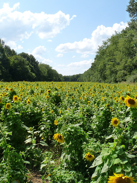 sunflower fields at McKee-Beshers